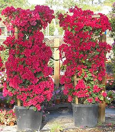 """BOUGAINVILLEA - We have two of these. One this color which is performing """"okay"""", the other a purple one hasn't made it - We are trying to replace it.  I love these, just wish they performed better in Louisiana."""
