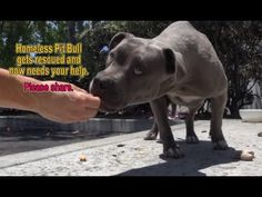 This Homeless Pitbull is Beautiful & Sweet! Watch How Friendly She is When They Rescue Her!