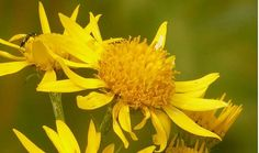 Information on the Health Properties, Benefits and Side Effects of the Herb Arnica Montana. Side Effects and and Its Common and Traditional Uses