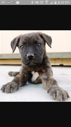 German Shepherd Pitbul...