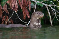 Giant river otter. Photo: Bertie Gregory