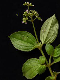 Aciotis rubricaulis Endangered Plants, Plant Leaves