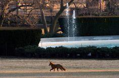 the white house has a fox!