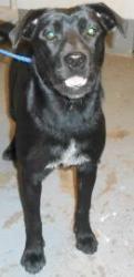 BEAUTY is an adoptable Labrador Retriever Dog in Thomasville, GA.  ...