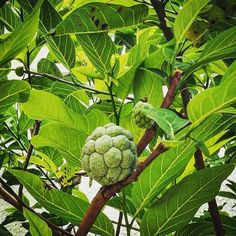 Chirimoya #boliviantours Bolivia, Fruit, Amazing