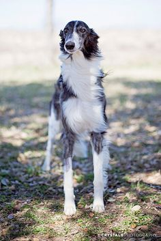 Silken Windhound- standing in the wind, as they are wont to do.