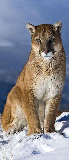 puma blanc felin