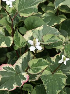the garden geeks plant of the day chameleon houttuynia (houttuynia cordata) perennial groundcover zones 5-11