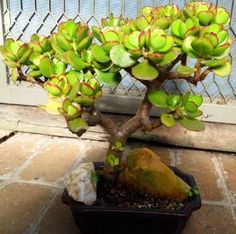 Perfect for bonsai and mini gardens! Jade Bonsai, Succulent Bonsai, Bonsai Art, Bonsai Plants, Bonsai Garden, Cacti And Succulents, Planting Succulents, Money Tree Bonsai, Bonsai Tree Types