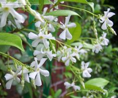 PlantFiles Pictures: Trachelospermum Species, Chinese Star Jasmine, Confederate Jasmine, Star Jasmine (Trachelospermum jasminoides) by DebinSC Arabian Jasmine, Trachelospermum Jasminoides, Organic Matter, Pool Landscaping, Succulents Garden, Love Flowers, Home Decor Inspiration, Shrubs, House Plants