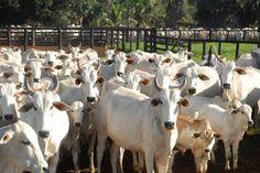 Rebanho bovino brasileiro, 212,3 milhões de cabeças de gado