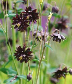 Stjärnakleja, Aquilegia vulgaris var. stellata 'Black Barlow'   Vacker och stabil perenn med oerhört vackra, mörklila, fyllda blommor. Blommorna är mycket mörka i färgen, nästan svarta. Blommar maj/juni. Förökas med frö och frösår sig lätt. Man kan spara frökapslarna och så egna plantor. 70-80 cm hög.