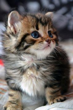 Kitten with Beautiful blue eyes