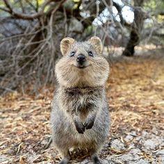 22 Adorable Baby Animals That Will Melt Your Cold Heart Smiling Animals, Happy Animals, Animals And Pets, Cute Little Animals, Cute Funny Animals, Quokka Animal, Cute Australian Animals, Animal Magic, Mundo Animal