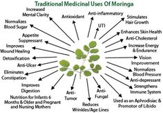 2. Rich in nutrients  Medicinal benefits of moringa are described in ancient Ayurvedic scripts, recent medicinal studies also found its importance, that's why it is termed as miracle tree or a tree of life.