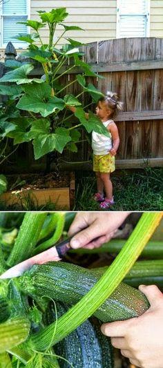 Tips for growing zucchini vertically #garden #zucchini