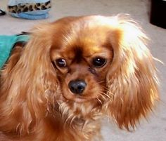 Ruby colored Cavalier King Charles Spaniel