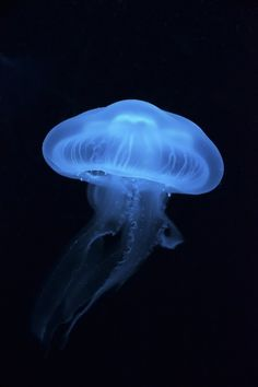 Moon Jellyfish by Emily Wommack