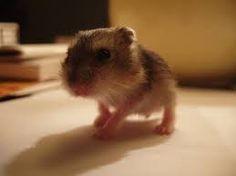 Resultado de imagen para hamsters tiernos
