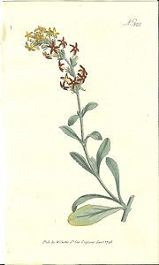 William Curtis Hand Colored 1796 Botanical Print WoollyManulea Plate 322