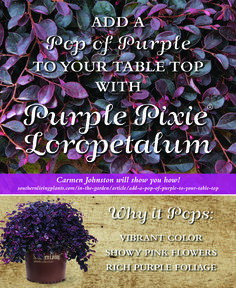 Purple Pixie® Loropetalum is a delight to use indoors as well as out. Carmen Johnston will show you step-by-step how to incorporate it into a spring tablescape.