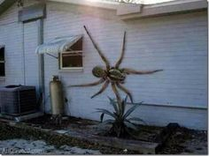 No it is no painting. it's a new Spider call the Angolan Witch spider. they migrated from South America. they primarily eat dogs and cats In Texas this abnormally large spider was found on the side of this home. It took several gun shots to kill it.... I would literally faint if I saw a spider this BIG.