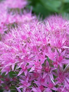 Sedum spectibile Brilliant Stonecrop Type: Perennials Height: Medium 18 (Plant 12 apart) Bloom Time: Late Summer to Fall Sun-Shade: Full Sun to Mostly Sunny Zones: Find Your Zone Soil Condition: Normal, Clay, Sandy Flower Color / Accent: Pink / Lavender Colorful Flowers, Pink Flowers, Beautiful Flowers, House Beautiful, Tropical Flowers, Summer Flowers, Cut Flowers, Beautiful Gardens, Garden Care