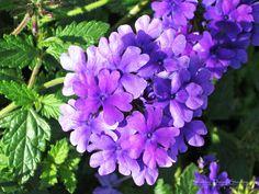 Purple in Vermont