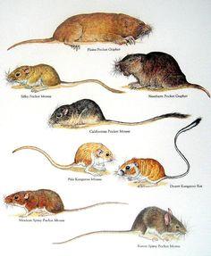 Gophers, Mice - Plains Pocket Gopher, Silky Pocket Mouse,  Desert Kangaroo Rat, Pale Kangaroo Mouse- Vintage 1980s Book Plate Page