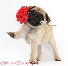 Dog: Fawn Pug pup and carnation photo - Warren Photographic
