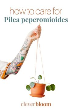 Learn the best tips and tricks for caring for your beloved Pilea peperomioides. The best Light, Water, Soil, and Propagation needs for the Pilea, UFO plant, Missionary plant, Friendship Plant. From Clever Bloom House Plant Care, House Plants, Easy Care Houseplants, Light Water, Propagation, Ufo, Plant Leaves, Clever, Friendship