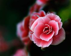 Pink Princess - Flowers - Amazing Pictures by Michael Taggart Photography