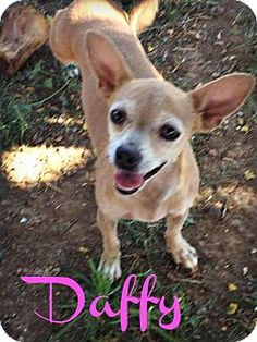 Phoenix, AZ - Chihuahua Mix. Meet DAFFY, a dog for adoption. http://www.adoptapet.com/pet/16975629-phoenix-arizona-chihuahua-mix