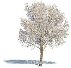 A bare tree with a big crown covered with snow