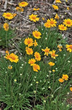 yellow texas wildflowers four-nerve daisy Landscaping Plants, Front Yard Landscaping, Landscaping Ideas, Soil Ph, Hardy Plants, Drought Tolerant, Permaculture, Perennials, Wild Flowers