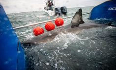 This tagged Great White Shark is currently crossing the Atlantic Ocean - the first animal to be tracked whilst doing so