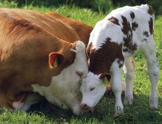 Une vache et son veau...