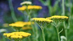 SOLIGT OCH TORRT – Som gula parasoller reser sig Röllika, Achillea 'Coronation Gold', över rabatten. Den doftar kryddigt och har finflikiga grågröna blad. Går att odla även långt upp i norr om växtplatsen är väldränerad. Passar väldigt bra tillsammans med blå växter som lavendel och stäppsalvia, det är den sistnämnda man skymtar i bilden från Blå trädgård i Enköping. Höjd upp till 80 cm. Blommar i juli–augusti och får en vacker fröställning som håller sig in i vintern. Härdig. Det finns… Dandelion, Reser, Flowers, Plants, Sun, Lavender, Photo Illustration, Dandelions, Florals