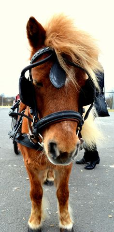 Ponies - Harnessed cart Pony.