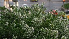 Illatos ternye: ehető szőnyegnövényt a kertbe Beautiful Flowers, Bloom, Plants, Backyard Ideas, Gardening, Lawn And Garden, Plant, Yard Crashers, Garden Ideas