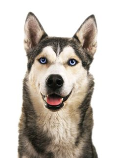 Husky Appearance | Eyes | Coat Color | Breed | Tails of the Tundra Siberian Husky Rescue