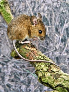 Wood Mouse - National Animal - Monaco