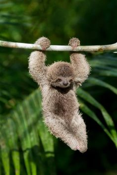 coming soon: pygmy sloths