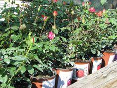Rózsa fajták Plants, Plant, Planets