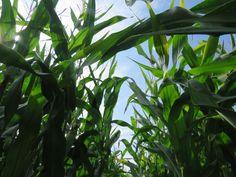 Giant fields of corn  Aston Flanville, Burbage