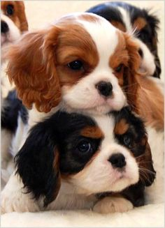 (Breeder: Chadwick Cavalier King Charles Spaniel& Source by. The post Baby Cavalier King Charles Spaniel puppies! (Breeder: Chadwick Cavalier King Cha& appeared first on SH Dogs. Phteven Dog, Beautiful Dogs, Animals Beautiful, Majestic Animals, Simply Beautiful, Best Dog Names, Cute Baby Dogs, Spaniel Puppies, Cocker Spaniel
