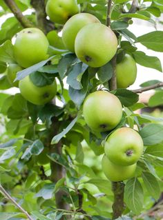 Medium to large fruit. Firm, smooth, crisp flesh with sweet-tart flavor. Great for deep south. Ripens mid-June to early July. Low Calorie Smoothies, Fruit Smoothies, Fruit Snacks, Fruits Basket, Proper Nutrition, Sweet Tarts, Apple Tree, Fruit Trees, Fruits And Vegetables