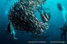 Anchovy Bait Ball Shark dinner