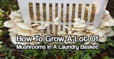 Growing Mushrooms In A Laundry Basket — Grow mushrooms with a basket and some straw and have them literally coming out of your ears. Thought you might like to see a great way to grow mushrooms outdoors if you have a shady place that gets watered regularly.