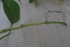 Pothos is another easy to propagate plant. Cuttings from a mature plant can easily be rooted in water, and then planted in bunches to make ...